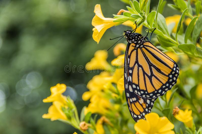 Monarch Butterfly on yellow flowers. Monarch Butterfly, Danaus Plexppus, in nature, room for text copy.  Simple amazing nature and beauty royalty free stock images