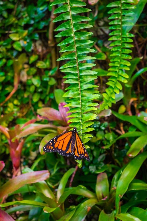 Monarch butterfly, Danaus plexxipus on an green fern stock image