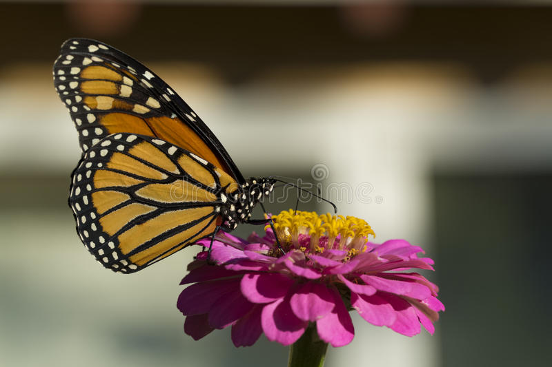 Monarch Butterfly Drinking on a Pink Zinnia royalty free stock image