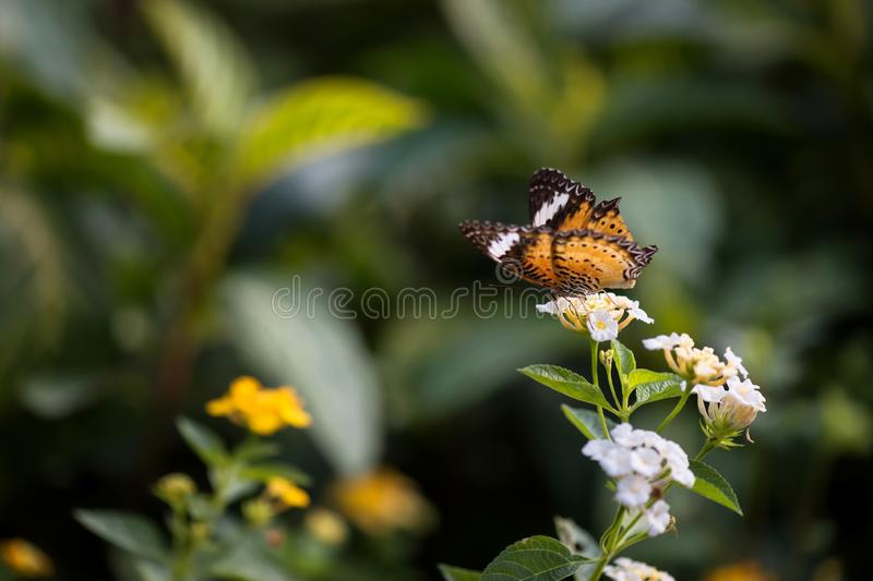Monarch butterfly eat on white flower. Monarch or Viceroy orange butterfly eating on white flower with wings spread open and natural blurred background royalty free stock photo