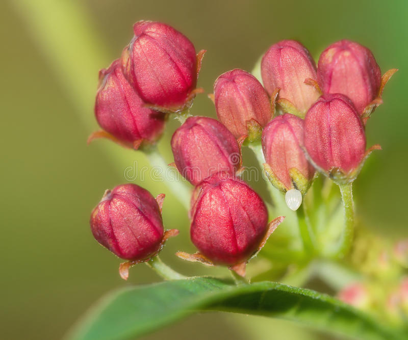 Monarch butterfly egg on milkweed flowers. Monarch butterfly egg attached to a tropical milkweed flower royalty free stock photo