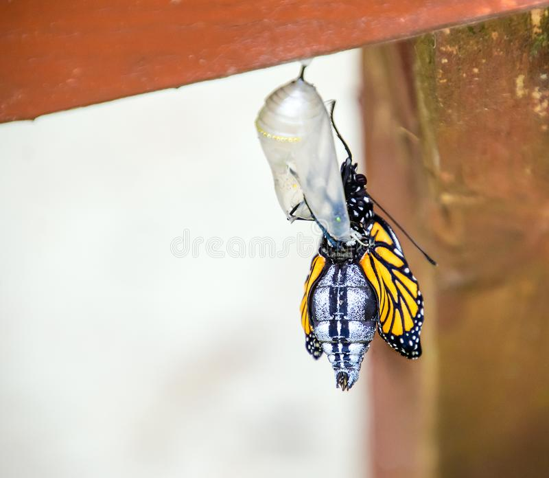 Monarch butterfly emerging from chrysalis. A monarch butterfly, Danaus plexippus, emerges from it`s chrysalis with it`s wings still damp and wrinkled stock image
