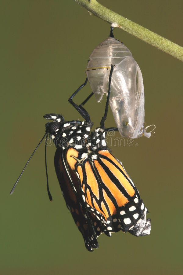Monarch butterfly emerging from its chrysalis royalty free stock images