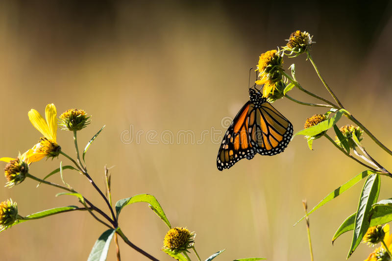 Monarch Butterfly. Feeding from Compass plants in a prairie in Wisconsin royalty free stock photography
