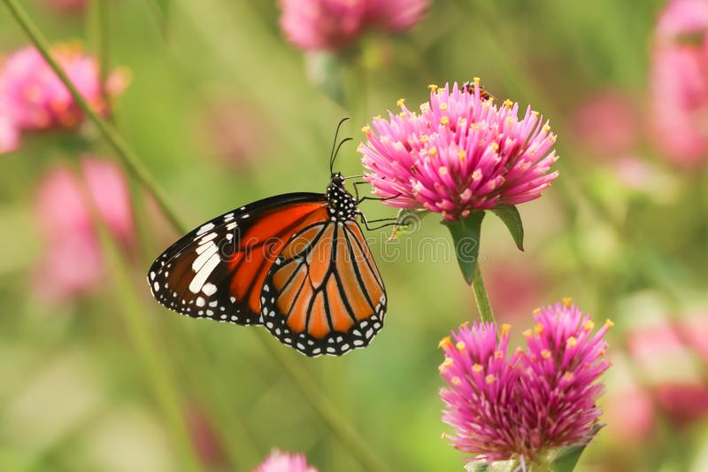 Monarch butterfly feeding on pink flower. In garden royalty free stock images