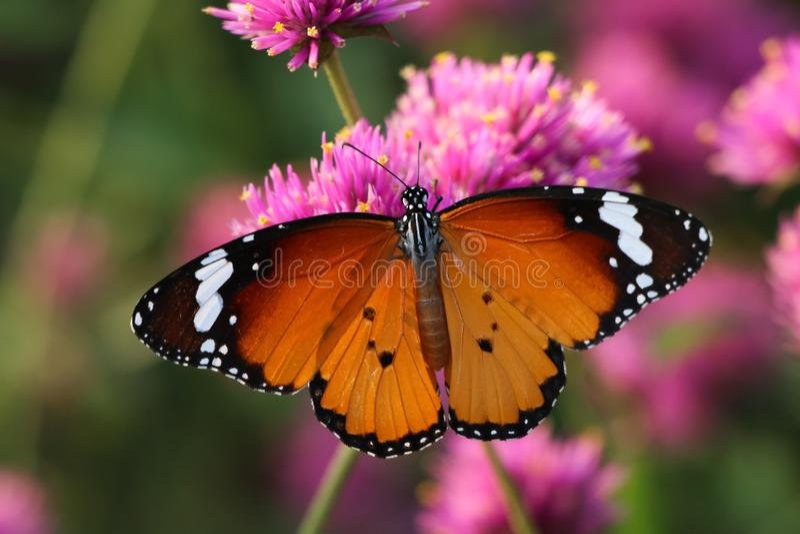 Monarch butterfly feeding on pink flower. In garden stock photography
