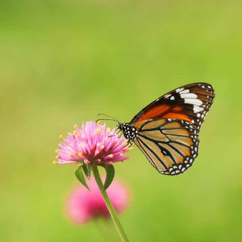 Monarch butterfly feeding on pink flower. In garden royalty free stock photos