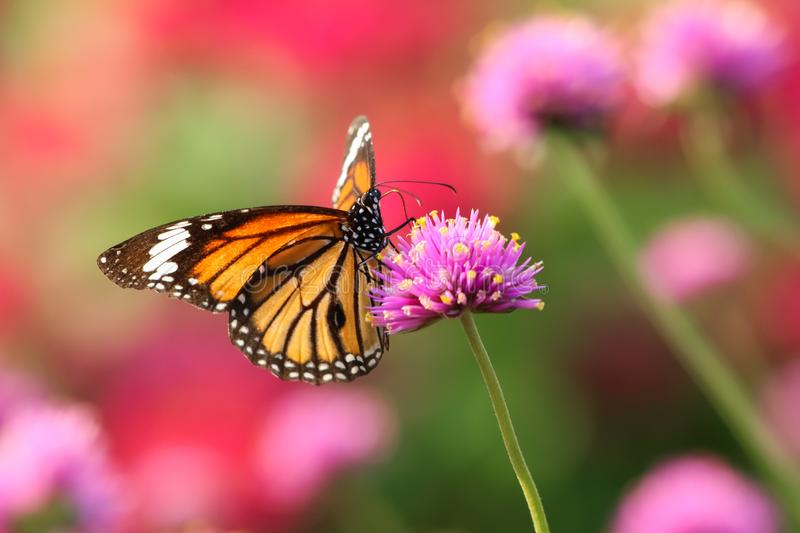 Monarch butterfly feeding on pink flower. In garden stock images