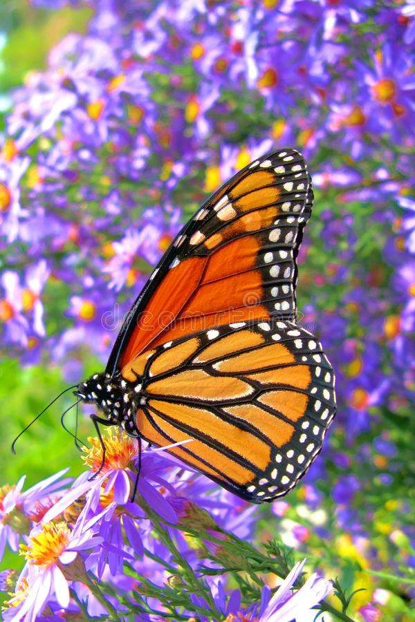 Monarch Butterfly Feeding on Purple Flowers Pollen royalty free stock photos