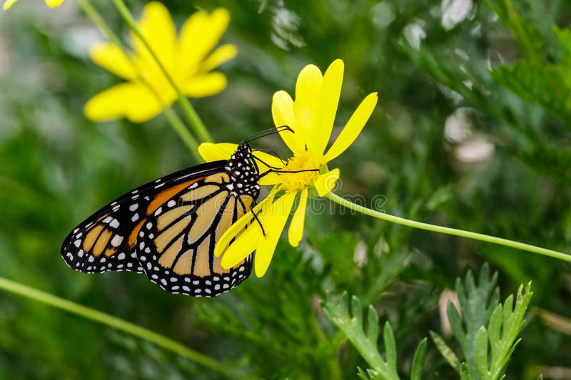 Monarch butterfly on bright yellow flower royalty free stock images