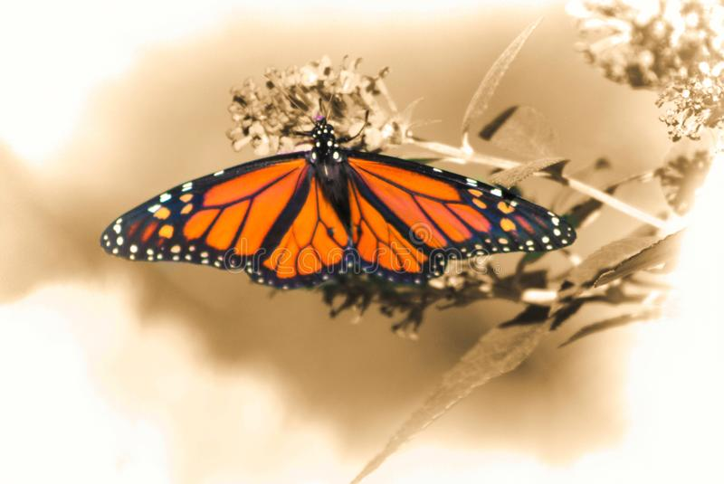 Monarch Butterfly Feeds on Butterfly Bush. A brightly-colored male Monarch Butterfly feeding on a Butterfly Bush in the mountain southwestern USA; Monarch stock photo