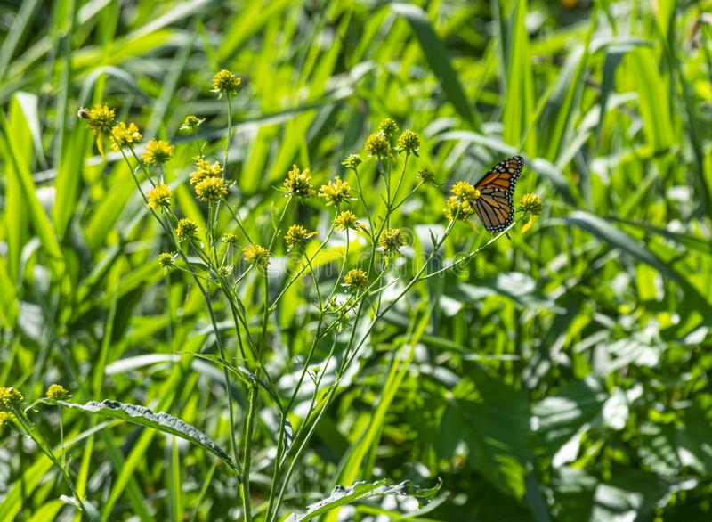 Monarch Butterfly on A field of Grass and Flowers stock photo
