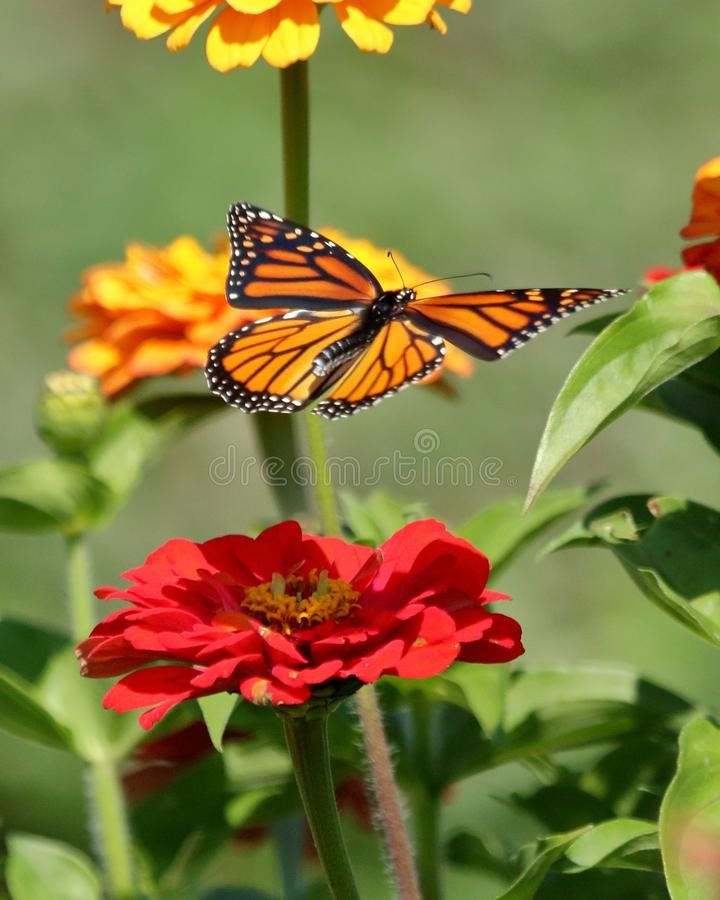 Monarch Butterfly in Flight royalty free stock images
