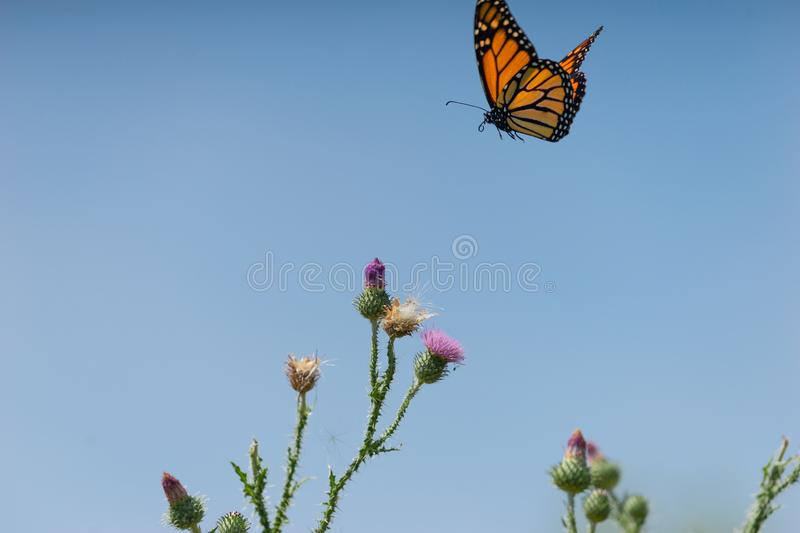 A monarch butterfly flies over a thistle plant stock photo