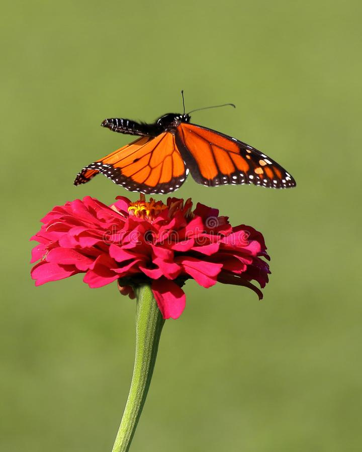 Monarch Butterfly in Flight stock photography