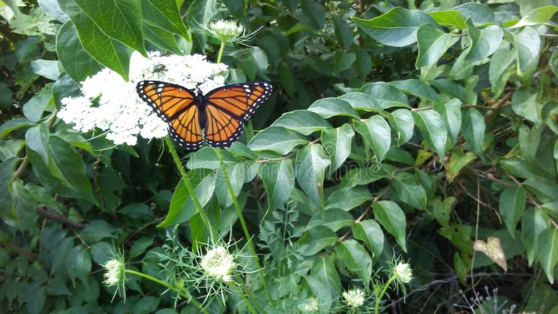 Monarch butterfly 2 stock photo