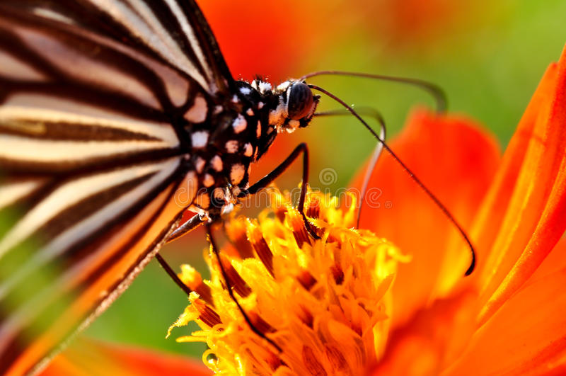 Monarch Butterfly. On the flower royalty free stock photo