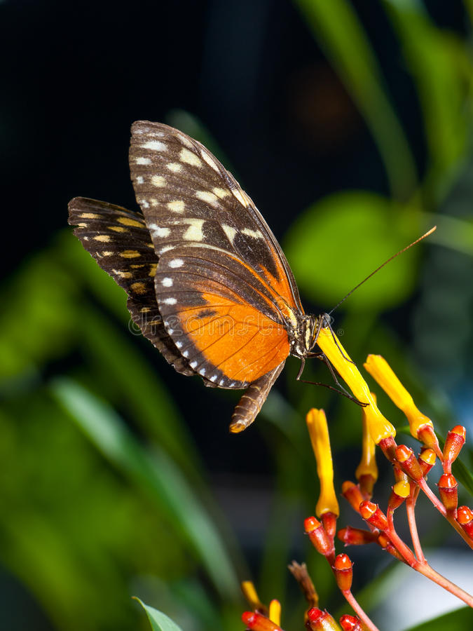 Monarch Butterfly. On a flower stock image