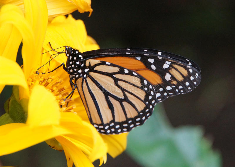 Monarch Butterfly. And Flower, El Castillo Butterfly Conservatory, El Castillo, Costa Rica stock images