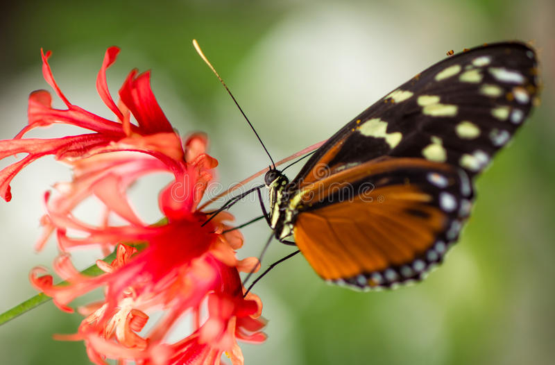 Monarch Butterfly on flower. Monarch Butterfly feeding on red flower in nature royalty free stock photography