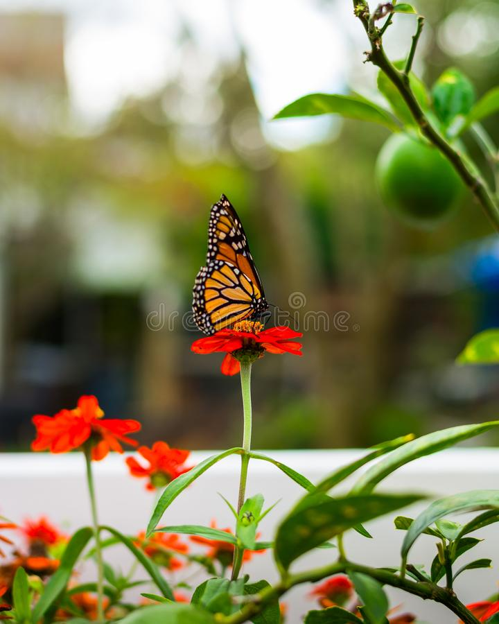 Monarch Butterfly in a flower pot. Monarch Butterfly in the Garden stock photos