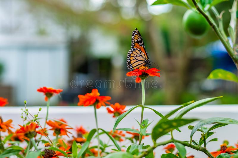 Monarch Butterfly in a flower pot. Monarch Butterfly in the Garden royalty free stock photos