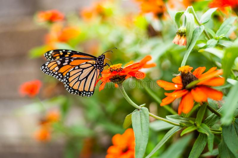 Monarch Butterfly in a flower pot. Monarch Butterfly in the Garden royalty free stock image