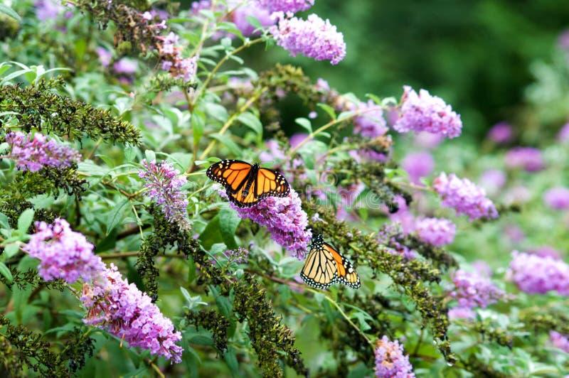 Monarch Butterfly on Flowers. Monarch Butterflies on Purple Butterfly Bush royalty free stock photos