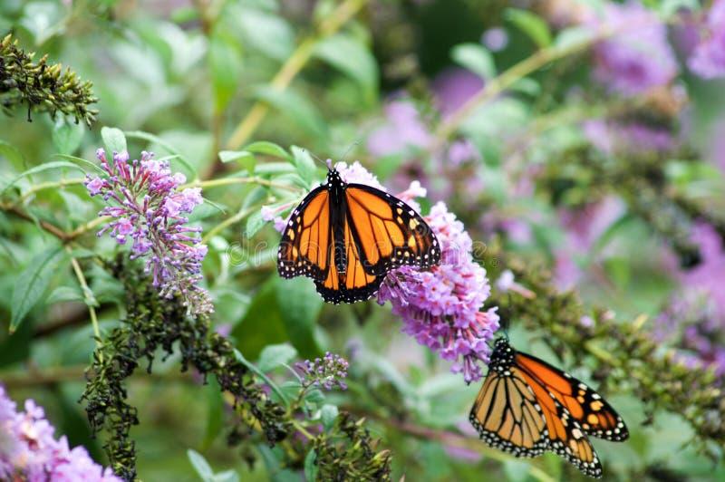 Monarch Butterfly on Flowers. Monarch Butterflies on Purple Butterfly Bush stock photo