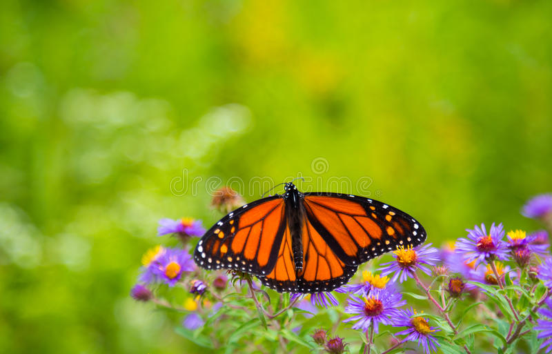 Monarch butterfly. On flowers with it's wings spread royalty free stock images