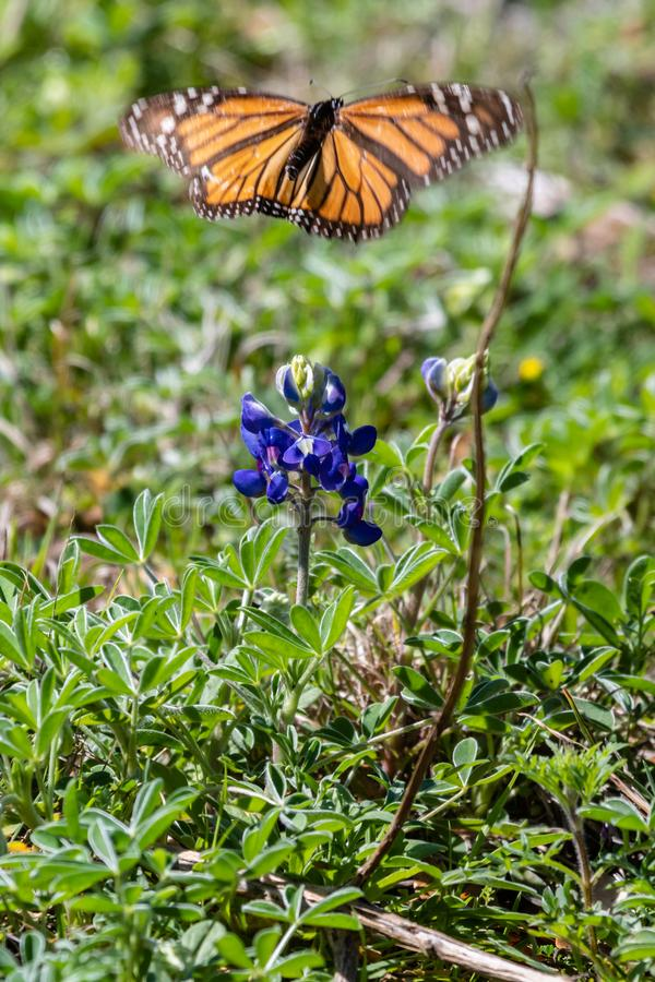 Monarch butterfly flying away from a Texas bluebonnet wildflower royalty free stock image