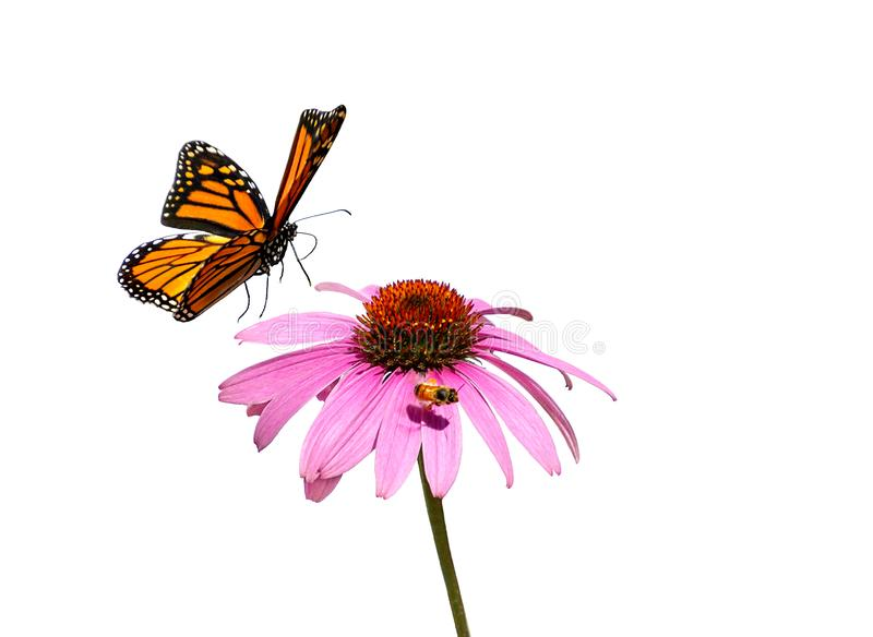 Monarch butterfly flying over flower royalty free stock photo