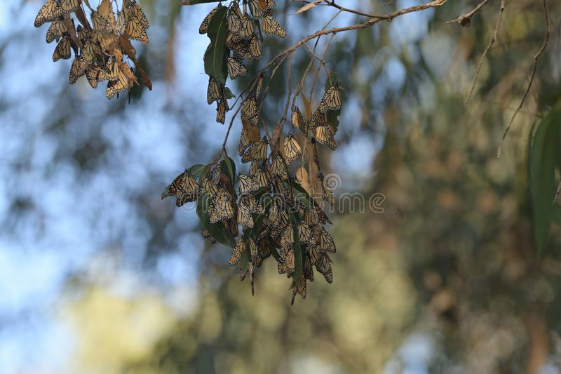 A Monarch Butterfly Flying to it`s Cluster stock image