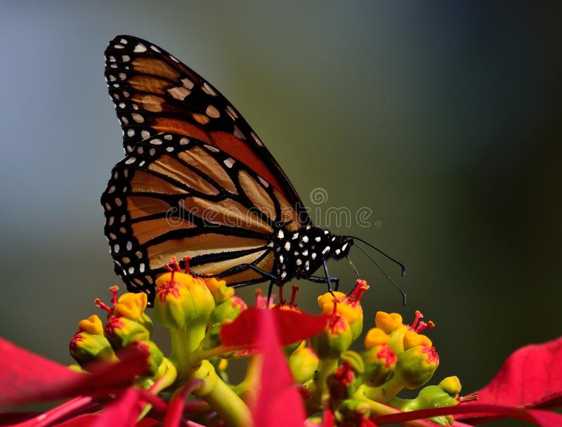 Monarch butterfly in foreground. Wonderful monarch butterfly in foreground, perched on colorful poinsettia stock photos