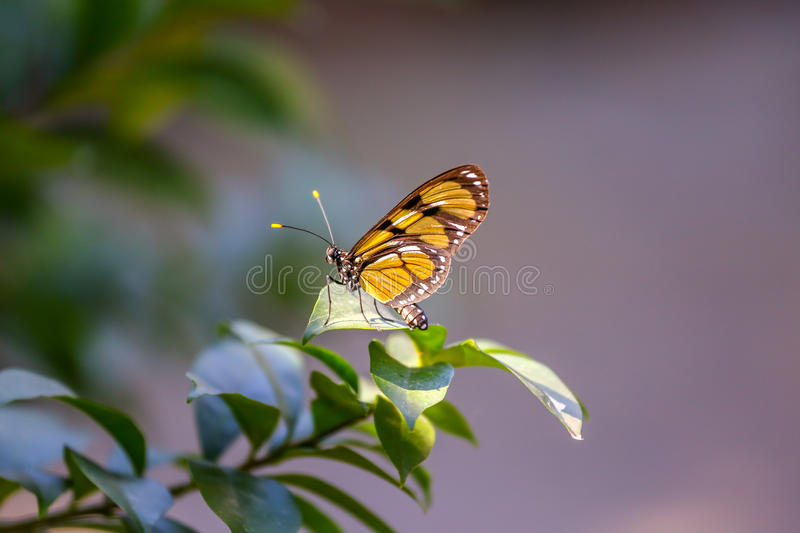 Monarch Butterfly in the forest royalty free stock image