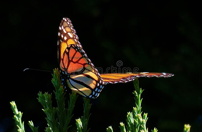 Monarch Butterfly.fz200 Free Public Domain Cc0 Image