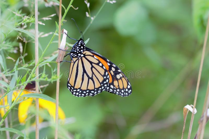 Monarch Butterfly Stock Photo. Image Of Natural, Resting