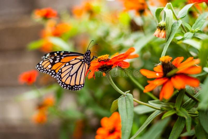 Monarch Butterfly in a flower pot. Monarch Butterfly in the Garden stock images