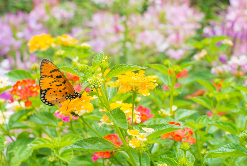 Monarch Butterfly in garden stock photography