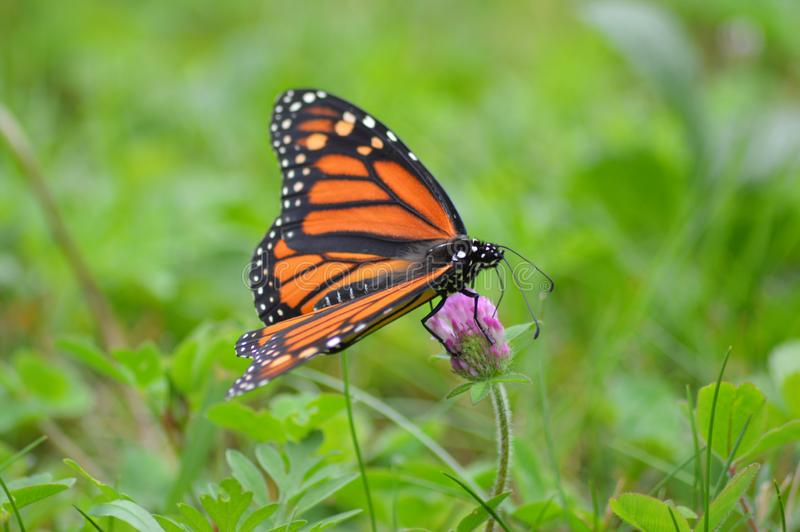 Monarch butterfly. Getting necture from a purple clover royalty free stock photo