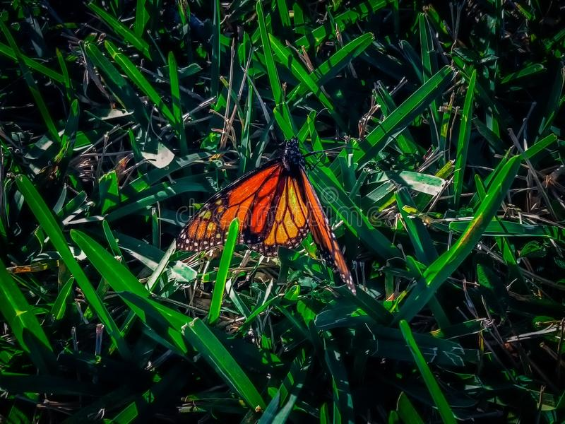 Monarch butterfly on grass. Monarch butterfly on a blade of grass royalty free stock image