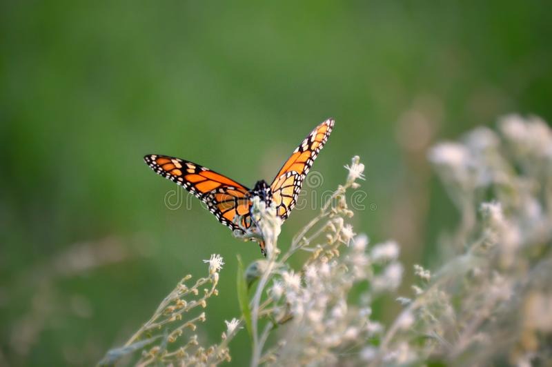 Monarch butterfly beauty 2018. Monarch butterfly in a green and tan field of flowers and weeds royalty free stock photos