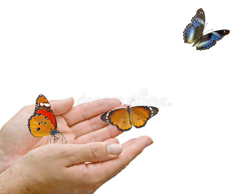 Monarch butterfly in hands. Close up of Monarch butterfly in hands royalty free stock photo