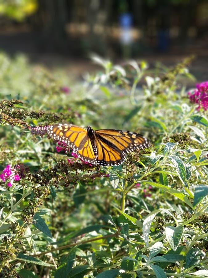 Monarch Butterfly drinking from Butterfly Bush flowers with Rocks - Danaeus plexippus. Monarch butterfly hanging from the blooms of a butterfly bush seeking royalty free stock image