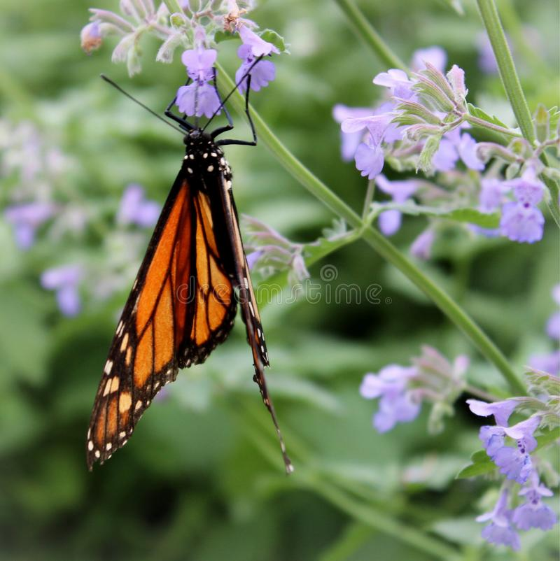 Monarch Butterfly hanging from Salvia Flowers. Seen in the garden stock photos