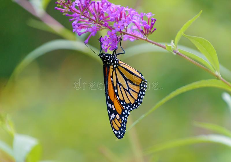 A Monarch butterfly hangs upside down royalty free stock photography