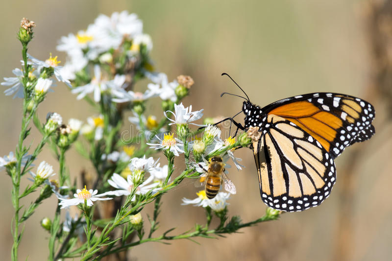 Monarch Butterfly, Honey Bee, and White Flowers stock photos
