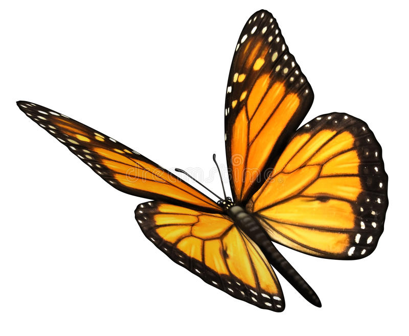 Monarch Butterfly Angled. Monarch Butterfly isolated on a white background angled in a three quarter view with open wings as a natural symbol of flying migratory stock illustration