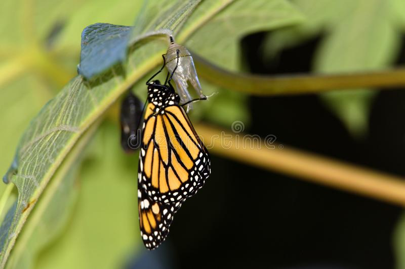 Monarch butterfly just when leaving the chrysalis. Metamorphosis of a monarch butterfly, just when leaving the chrysalis stock photos