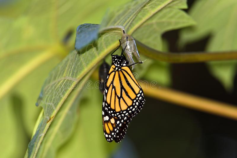 Monarch butterfly just when leaving the chrysalis. Metamorphosis of a monarch butterfly, just when leaving the chrysalis stock photography
